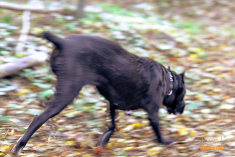 Masha cane corso la padure in actiune