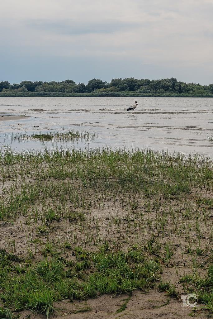 Barza in Delta Dunarii, bratul Sf. Gheorghe
