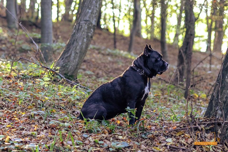 Masha cane corso la padure