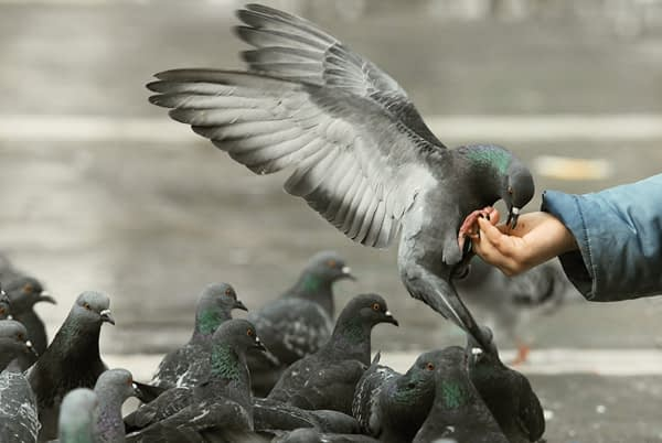hungry pigeons